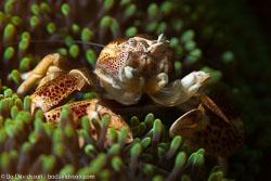 BD-161025-Pantar-2795-Neopetrolisthes-maculatus-(H-Milne-Edwards.-1837)-[Spotted-porcelain-crab].jpg